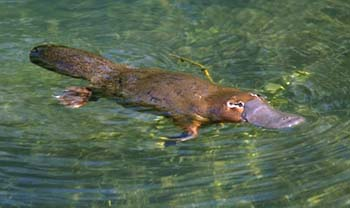 Platypus, a Unique Mammal-like ducks, laying and Venomous
