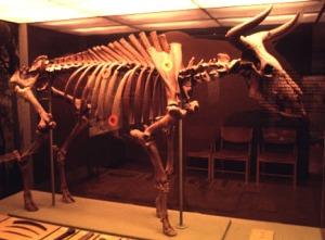 Aurochs+skeleton 10 Spesies Hewan yang Menakjubkan yang telah Punah