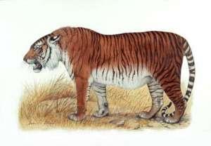 caspian tiger 162072 10 Spesies Hewan yang Menakjubkan yang telah Punah