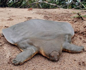 Cantor's Giant soft-shelled Turtle (Pelochelys Cantorii)