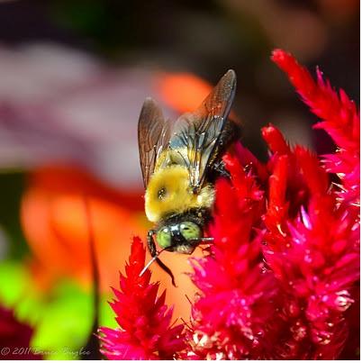 lalat pekerja