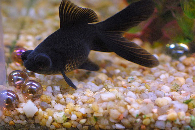 Ikan-Koki-Black-Moor