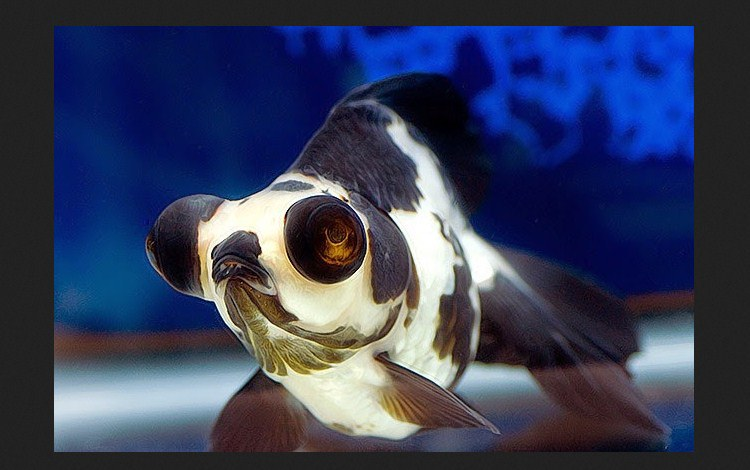 Ikan-Koki-Panda-Moor