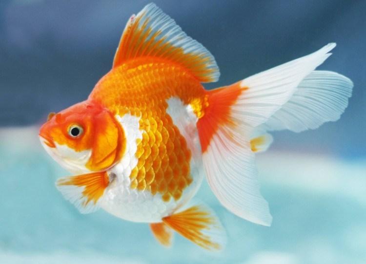 Ikan-Koki-Ryukin