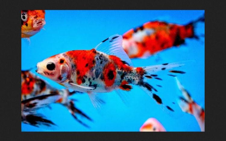Ikan-Koki-Shubunkin
