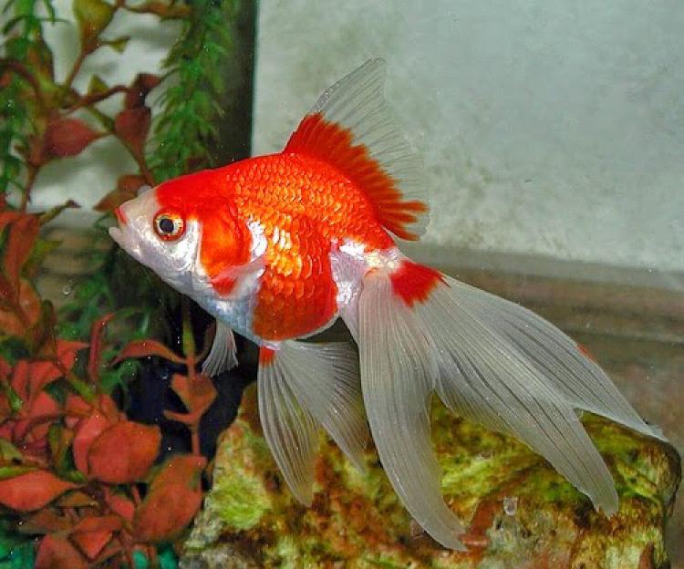 Ikan-Mas-Koki-Fantail