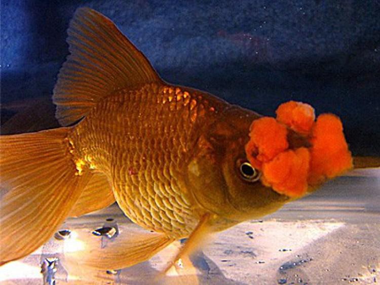 Ikan-Mas-Koki-Hanafusa