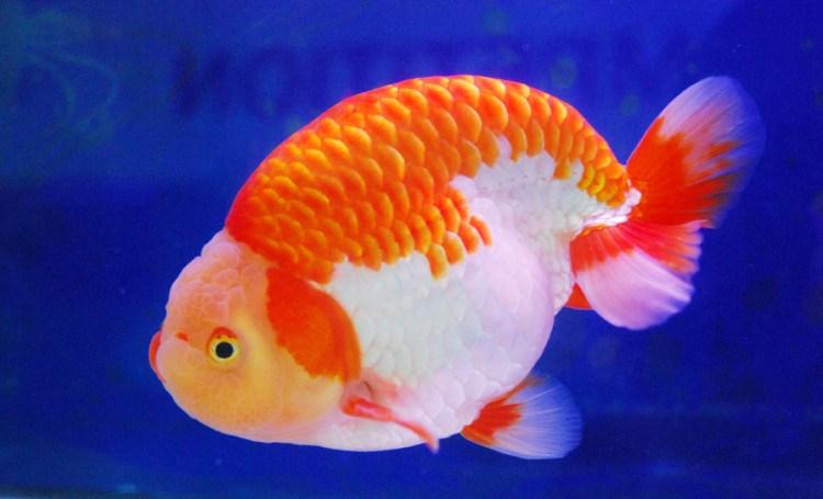 Ikan-Mas-Koki-Ranchu