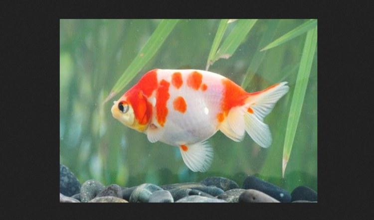 Ikan-Mas-Koki-Sakura