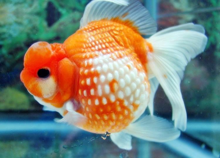 Ikan-Mas-Koki-Sisik-Mutiara