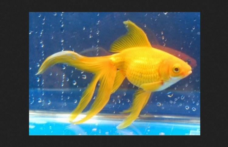 Ikan-Mas-Koki-Watonai